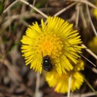 Vårens första fjäril och fluga :)