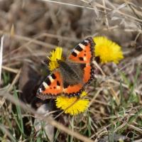Fjärilar och vitsippor