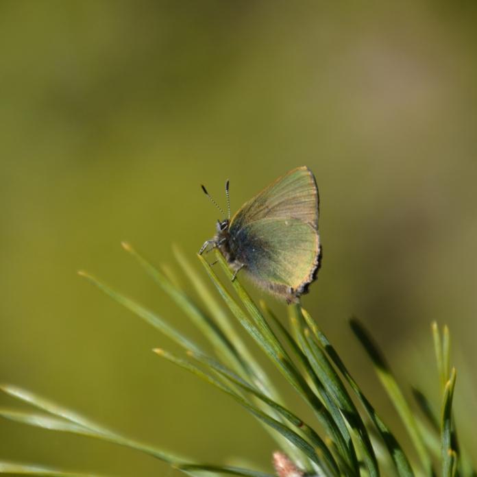Grönsnabbvinge - Callophrys rubi