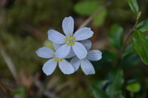 Harsyra blommor