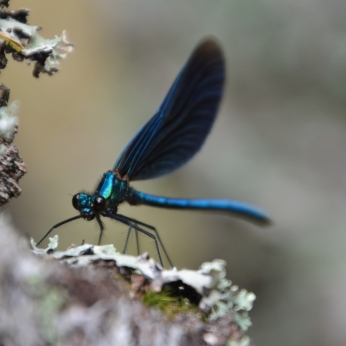 Blå Jungfruslända - Calopteryx virgo