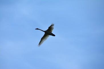 Flygande sångsvan