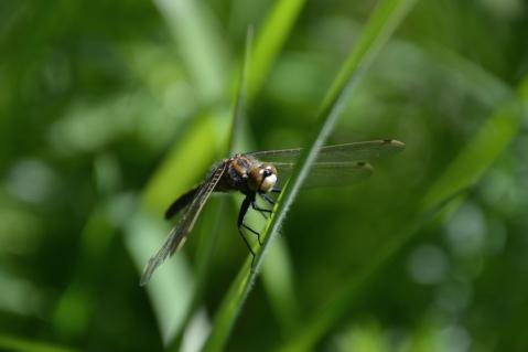 Nordisk kärrtrollslända - Leucorrhinia rubicunda