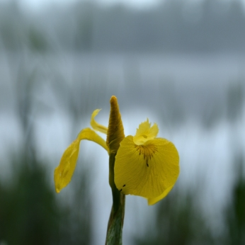Svärdslilja - Iris pseudacorus