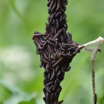 Påfågelöga-larver i klunga