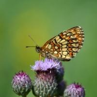 Fjärilar mellan regnen