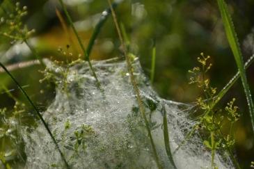 Spindelnät i morgonsolen