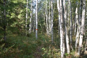 Vacker björkskog längs bruksleden