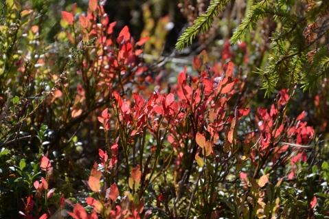 Röda blåbärsblad