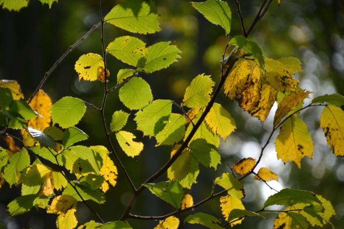 Vackra löv i Skrikboravinen