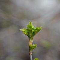 Lövsprickning och aprilväder